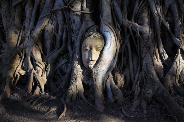 The stone head of a Buddha statue in the roots of a Bodhi tree in Wat Mahathat, Ayutthaya, Thailand