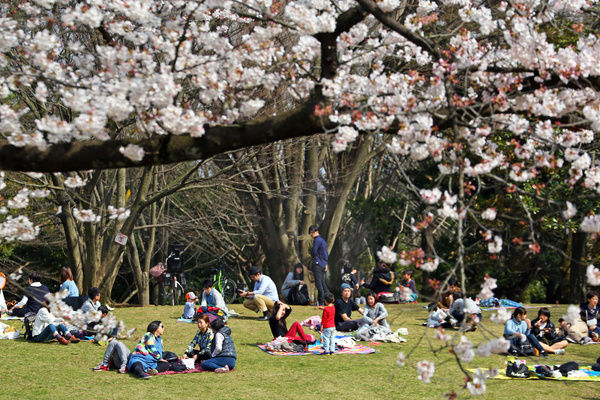 People picnic as the first Japanese Cherry Blossom in Tokyo brings out the crowds in Hikarigaoka Park in Tokyo, Japan. The cherry blossom is known as Sakura in Japan and the traditional custom of viewing the flowers is known as Hanami