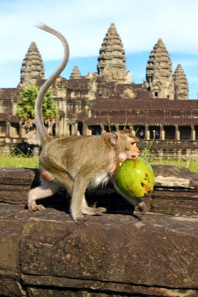 Long tailed Macaque Monkey with a coconut at Angkor Wat Temple in Siem Reap, Cambodia