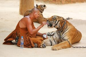 Buddhist Monk feeding Tiger at the Tiger Temple in Kanchanaburi, Thailand