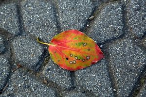 Colourful leaf on the path in the park at Ueno, Tokyo, Japan
