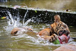 Cute tiger cub playing in the water at theTiger Temple in Kanchanaburi, Thailand