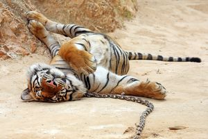 Cute tiger relaxing at theTiger Temple in Kanchanaburi, Thailand