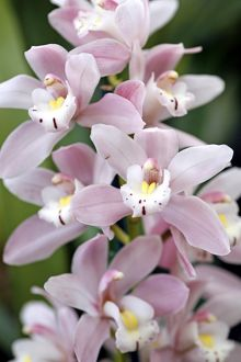 Cymbidium, Castle of May, Pinkie Orchid