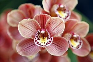 Cymbidium, Devon Lord, Viceroy Orchid