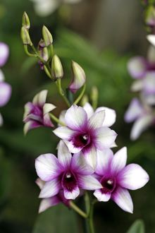 Dendrobium Raspberry Delight Orchid