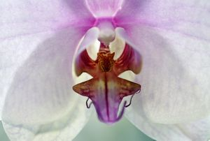 Doritaenopsis Sylivia's Delight Orchid