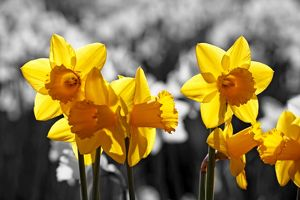 Flowers in Spring. Yellow Daffodils blooming, spot colour