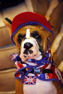 Fluffy Boxer dog with patriotic scarf