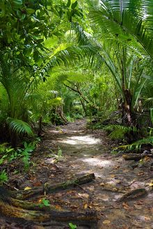 Forest path through tropical vegetation, Carp Island, Republic of Palau, Micronesia