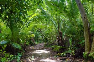 Forest path through tropical vegetation, Palau, Micronesia