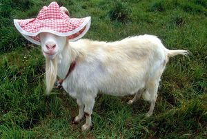 Gordon the Goat wearing a floppy hat
