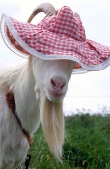 Gordon the Goat wearing a pink floppy hat looking cute