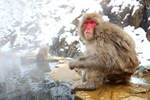 Snow Monkeys (Selection of 34 Items)