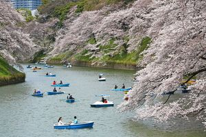 Japanese people enjoy the first day of full bloom Cherry Blossom in Tokyo, Japan