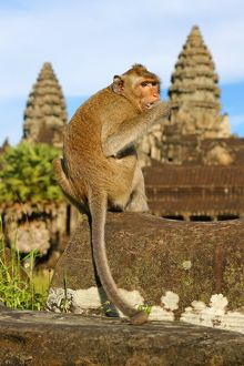 Long tailed Macaque Monkey at Angkor Wat Temple in Siem Reap, Cambodia