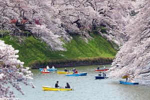 Looking at Cherry Blossom Sakura from boats in Tokyo, Japan