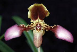 Paphilopedilum Esquirolei Orchid