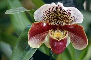Paphiopedilum, Winston Churchill, Indomitable Orchid