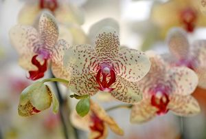 Phalaenopsis Babette Orchid