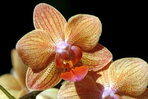 Phalaenopsis Star Orange, Sung low Orchid