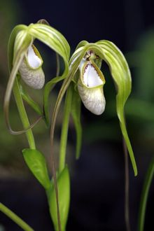 Phragmipedium Wallisii Orchid