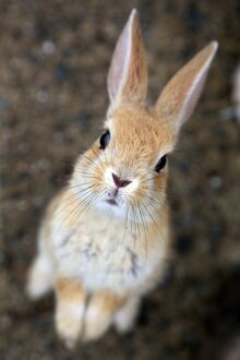 The Rabbits of Okunoshima, known as Rabbit Island, in Japan