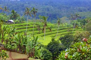 Rice terraces and palm trees in Mekarsari, Bali, Indonesia