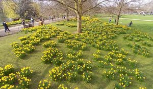 Spring Daffodils in St. James Park, London