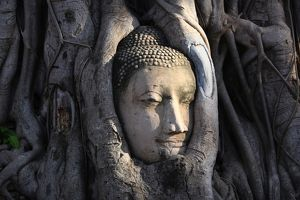 The stone head of a Buddha statue in the roots of a Bodhi tree in Wat Mahathat, Ayutthaya