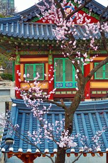 Traditonal Korean building and cherry blossom at Bongeunsa Temple at sunset in Seoul