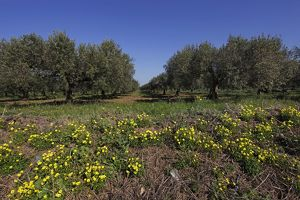 Trees in an olive orchard grove near Trapani, Sicily, Italy
