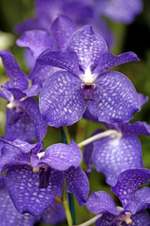 Vanda Blue Magic Orchid