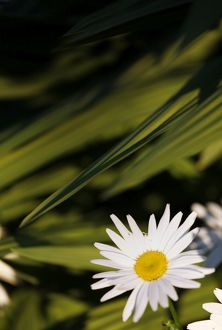 White Ox Eye Daisy flower and green leaves spot colour