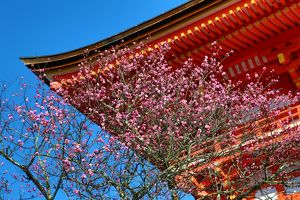 Wooden orange roof with cherry blossom at Kiyomizu-dera Temple in Kyoto, Japan