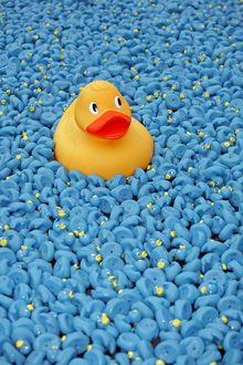 Yellow Rubber Duck and blue ducks at Great British Duck Race